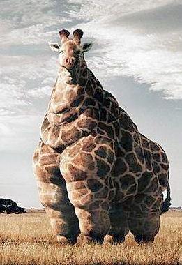 zsíros egy zsiráf